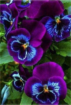 de flores Diese Stiefmütterchen sind so hübsch ! These pansies are so pretty ! Exotic Flowers, Amazing Flowers, Pretty Flowers, Purple Flowers, Colorful Flowers, Tropical Flowers, Yellow Roses, Pink Roses, Flowering Trees