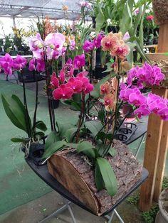 Orchard tree stump p Indoor Orchids, Orchids Garden, Succulents Garden, Orchid Flower Arrangements, Orchid Planters, Backyard Plants, Outdoor Plants, Backyard Landscaping, Landscaping Ideas