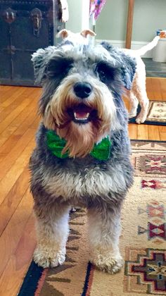 """Wyatt Earp""  miniature schnauzer  Happy St. Patrick's Day ! 🍀❤️🐶"
