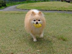 楽しい散歩|めろんオフィシャルブログ「柴犬めろんの日記」Powered by Ameba