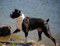 Rocky  wow what a beautiful dog!  boxer and whatelse? Kathie