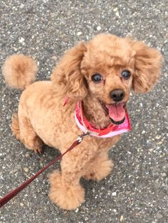 Toy Poodle Poodle Mix Breeds, Poodle Cuts, Cute Puppies, Cute Dogs, Dogs And Puppies, Cutest Animals, Animals And Pets, Cute Dog Beds, Silver Poodle