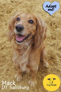Mack at Dogs Trust Salisbury is a 4 year old Cocker Spaniel. He is extremely energetic and was bred from working parents. He loves to be out and about running in the country side or playing with his doggy friends. He is very clever and enjoys reward based training. Mack's favouirite game is 'fetch' and will happily exchange ball for ball.