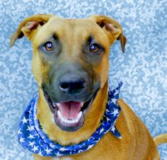 Kujo is a Shepherd/Ridgeback mix about 6 months old. He weighs 45 pounds and should weigh about 60 pounds full grown. He is best for an active home with dog experience; if kids, ages 10 or older. He is outgoing, gets along with other dogs, house trained, crate trained, good in a car, but needs more leash training. Email Save a Dog Today at saveadogca@gmail.com. Call or text 356-2204. Go to www.sadt.info.  Go to www.redding.com for more adoptable pets.