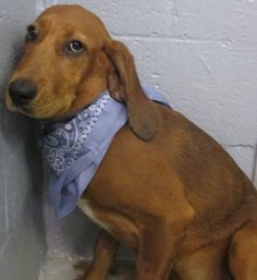 Dinga Female Red Bone Hound Approx 6 Months Old FRIENDLY!!! - TAZWELL COUNTY ANIMAL SHELTER 3015 Lynn Hollow Rd North Tazewell, Virginia 24630 Email tazcoansh@yahoo.com Phone (276) 988-5795