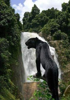 Black Jaguar - what writer writes about shift changing panthers?T Geissinger! animals silly animals animal mashups animal printables majestic animals animals and pets funny hilarious animal Beautiful Cats, Animals Beautiful, Big Cats, Cats And Kittens, Siamese Cats, Animals And Pets, Cute Animals, Wild Animals, Baby Animals