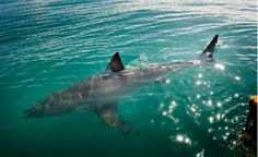 The Great White Shark along the Overberg coast. Get discount for cage diving when staying at Dreams. The Great White, Great White Shark, Creepy, Scary, Shark Diving, Come And See, African Safari, Nature Reserve, Rafting