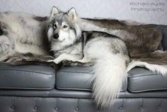 Charlie on the sofa. by Richard Ayres. #wolfdog #dog #wolf #wolfalike #northerninuit