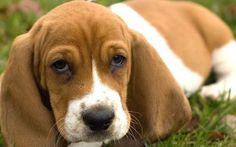 hound dog mix | Get the perfect puppy...