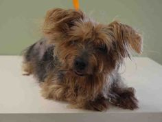 SUPER URGENT Manhattan Center SOPHIE – A1039452 FEMALE, TAN / GRAY, YORKSHIRE TERR MIX, 9 yrs OWNER SUR – EVALUATE, NO HOLD Reason PERS PROB Intake condition EXAM REQ Intake Date 06/09/2015