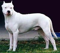 Argentine Dogo: Training Tips For Argentine Dogo Dog Breeds