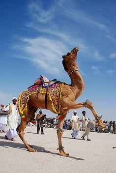 """Cholistan Camel Dance"" - photo by Raja Islam, via Flickr; in Punjab, Pakistan at the Cholistan Jeep Rally in 2009"