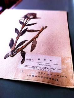 植物標本 大正7年6月2日 島津製作標所