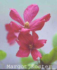 Margot Koster. June-Sept. 12'. Bloom on new wood, prune group C in Feb