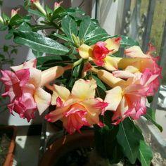 Amazon.com : Best Garden Seeds Heirloom Trumpet Adenium Desert rose, Professional Pack, 2 Seeds, 4-layer orange petals with pink edge : Patio, Lawn & Garden