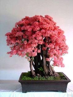 Flor de cerejeira- Sakura                                                                                                                                                      Mais