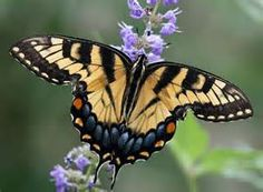 Yellow Swallowtail Butterfly - Bing Images