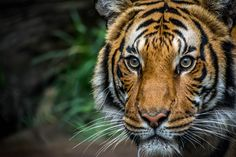 Malayan Tiger by thumbwave on 500px