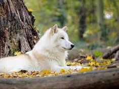 Image result for white wolf cute