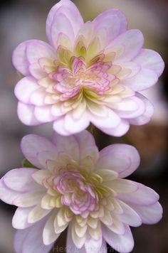 Hepatica japonica