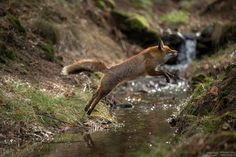 jumping fox - Jumping fox in the forest. More pictures here: facebook
