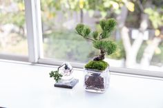 Keeping Bonsai in water without any soil? It's possible and called Aqua Bonsai! #aquabonsai #bonsai #japan #盆栽