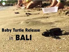 Turtle Release in Kuta, Bali peaks on Aug - Sept