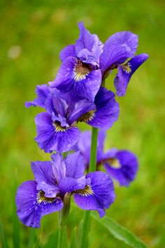 Iris bloom by our pond