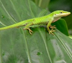 Anole (links to article about pet lizards)