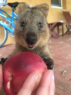 Image from https://victoriaamelie.files.wordpress.com/2015/04/quokka2.jpg.