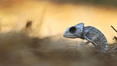 """The heat and weather of the Israeli desert dried and preserved this chameleon after it died midstep. """"When I looked into her eyes, I felt like she is still alive,"""" says Your Shot photographer Yair Dvir. """"Her eye was looking into my eye, no matter which direction I looked."""""""