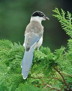 Azure-winged Magpie(Cyanopica cyana) オナガ