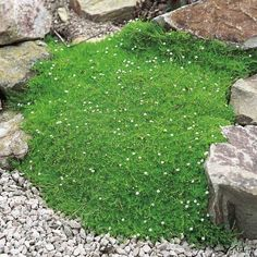 Sagina subulata (Irish Moss) - Diminutive ground cover that is evergreen everywhere in the region. Will take sun in cooler summer areas and has tiny white flowers. Gold forms are called Scotch Moss Contemporary Garden, Garden Plant Stand, Plants, Shade Perennials, Shade Garden, Tiny White Flowers, Perennials, Hydrangea Bloom, Moss Garden