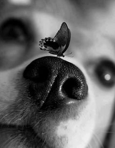 Butterfly on dog nose Cute Puppies, Dogs And Puppies, Cute Dogs, Doggies, Beautiful Creatures, Animals Beautiful, Animals And Pets, Cute Animals, Dog Nose