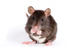 немного декоративная крыса на белом фоне