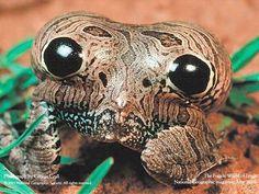 """Esta espécie de sapo possui manchas na sua traseira que imitam grandes olhos. Quando está em perigo em """"infla"""" o corpo e os """"olhos"""" parecem maiores assustando os inimigos!"""
