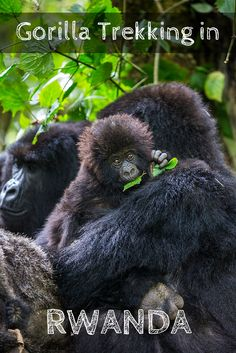 Rwanda Gorilla Trekking: A Wildlife Experience Worth Every Penny - women Life ideas Rwanda Travel, Africa Travel, Uganda, Kos, Africa Destinations, Holiday Destinations, Travel Destinations, Gorilla Trekking, Mountain Gorilla