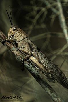 Egyptian locust.