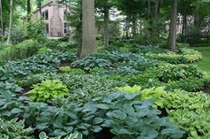 incredible hosta bed