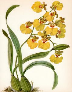 Beautiful ANTIQUE ORCHID PRINT Yellow Oncidium Orchid Vintage 1972 Botanical Print Collectible Rustic Home Decor (Orchid 38)
