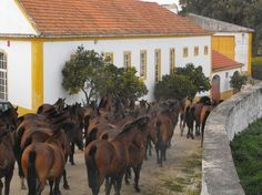 Picture LUSITANO MARES AND FOALS from http://www.mypassionforportugal.com/my-passion-for-portugal-blog.html
