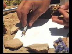 Roald Hoffman Extracting Dye from a Murex Trunculus - extracting purple dye from murex snails - Phoenicians