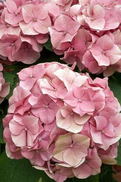 Hydrangea bonsai plants indoor flowers potted plants all kinds of colors easy to plants gardening decoration planting - Blumen - Hydrangea Macrophylla, Hortensia Hydrangea, Hydrangea Garden, Hydrangea Flower, Hydrangeas, Summer Flowers, Pretty Flowers, Pink Flowers, Indoor Flower Pots