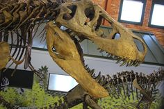 Ivan the T. rex, one of the most complete of his kind on display in the world. Located at the Museum of World Treasures in Wichita, KS.