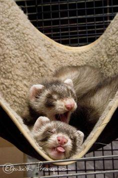2 ferrets