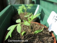 Tomaten-,Paprika- Chilipflanzen, richtige Pflege nach dem Pikieren