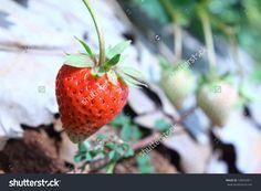 http://www.shutterstock.com/pic-128332811/stock-photo-ripe-red-stawberries-in-the-garden-.html?src=z1Js5wcK9dBWDUhSJQiIiA-14-53