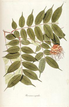 """Brownea capitella, in """"Fragmenta botanica, figuris coloratis illustrata"""", table 18, edition 1809, author: Nikolaus Joseph Freiherr von Jacquin (1727-1817)"""