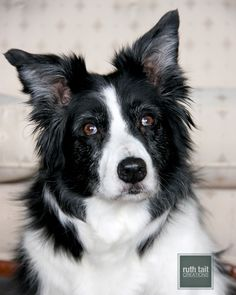 Marley - Border Collie by Ruth Tait Creations