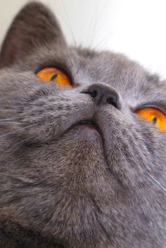 Beautiful British Shorthair Pijui - British Shorthair - Ideas of British Shor. My Beautiful British Shorthair Pijui - British Shorthair - Ideas of British Shor. Blue Cats, Grey Cats, Cute Cats And Kittens, I Love Cats, Silly Cats Pictures, British Blue Cat, Chartreux Cat, British Short Hair, Photo Chat